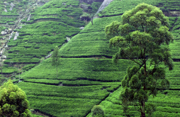 Tea_plantation_near_Kandy-_Sri_Lanka